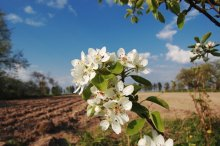 Груша )) / Цветут сады... скорей бы плоды...