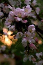 Яблочный закат... / приятного просмотра!...