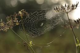 В ожидании / Паутинка с пауком в туманном утре и росе
