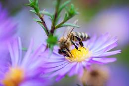 Пчёлка / Макро