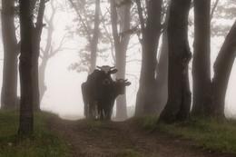 Лесное пастбище / Туманное утро в дубовой роще