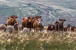 Ковыль. Коровы. Контровой. / ***