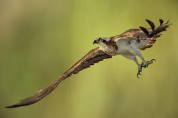 Скопа на охоте / Osprey (Скопа) - хищная птица, распространённая в обоих полушариях, единственный представитель семейства скопиных.
