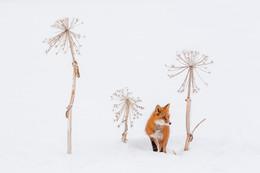 Спрятался / Камчатка. Лис и стебли борщевика.  https://www.instagram.com/ratbud/
