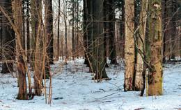 Мартовский снег / Подмосковный лес весной - снег осел и покрылся пылью.