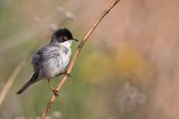 Без названия / Sardinian Warbler