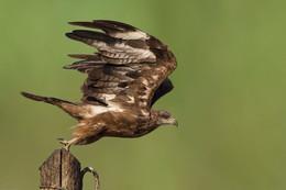 Отрыв / Чёрный коршун - хищная птица семейства ястребиных.