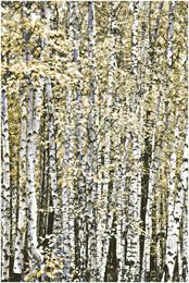 """""""Берёзовый ситец"""" / Осенний берёзовый лес..."""