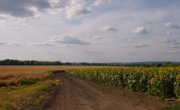 там,за поворотом / август,поле,подсолнухи