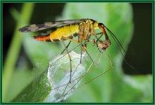 Завтрак скорпионницы / На завтрак к мухе-скорпиону попал комар-долгоножка