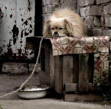 Согрешила моя бабка с пекинесом... / собачья жизнь