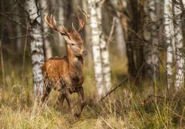 """""""Лесная встреча """" / фото охота на оленьей тропе"""