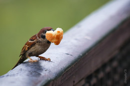 Сердцеед / Городские птички