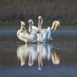 Пеликаны / ____
