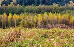 Желтые березки / Момент смены цвета наряда молодых березок
