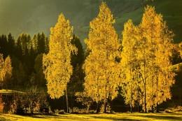 / ein paar Birken werden im goldenen Herbstlicht zu den Helden dieser Landschaft und dieses Bildes.