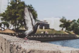"""Раз, два, три, взлетаю! / Момент отрыва голубя от """"земли"""" при взлете. Я специально следил за голубем. Выжидал время, чтобы сделать этот кадр."""