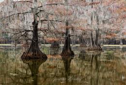 Осенний этюд / Болотные кипарисы. Бассейн реки Атчафалайя, Техас, США.