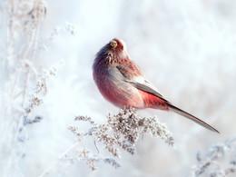 Зарисовки из зимнего луга / Не всем известна, но очень интересна птица урагус. Ее небольшие размеры и яркое оперение поражают своей необычностью. Чаще всего встречается название длиннохвостая чечевица, в некоторых случаях длиннохвостый снегирь. Очень широко распространены урагусы в Азии. Ареал их обитания включает Монголию, Китай, Японию, Казахстан, Корею, Кыргызстан, южные районы Сибири. Она представляет собой маленькую птичку с очень длинным хвостом, который в основном служит ей для баланса. Имеет дружелюбный характер и мелодичное пение. Трели выводят только самцы, самки могут лишь скромно пищать.  Снято Юг Западной Сибири, Тюменская область