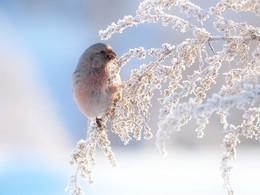 Зарисовки из зимнего луга 2 / Для любопытного наблюдателя не секрет, что рядом с нами зимуют не только знакомые всем синицы, голуби и воробьи, но и чечётки, овсянки, щуры, корольки, щеглы, несколько видов синиц и три-четыре десятка других видов. Во время прогулок по зимнему лесу или лугу можно познакомиться с самыми разными представителями зимних пернатых. Одни питаются семенами дикорастущих трав (подорожник, лен, конопля, лебеда, одуванчик, пастушья сумка, полынь), Другие ягодами деревьев и кустарников. Вот, например, маленькая птичка урагус, которую я встретил на зимнем солнечном лугу, ела семена полыни.