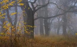 Осень / Туманное утро в дубовой роще