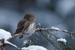 В зимнем антураже / Воробьиный сыч