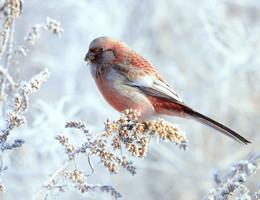 Бодрое утро / Интересная красивая маленькая птица урагус. Полёт очень характерный — быстрый и волнообразный. Из-за очень длинного хвоста оперение урагусов во время полёта издаёт характерный звук — «фррр», по которому птицу легко можно опознать, даже не видя её. Кочуют поодиночке, парами и небольшими группами, стаи встречаются редко. Иногда держатся вместе с другими мелкими вьюрковыми. Пленённые красотой этих птиц европейские любители вывозили их из Сибири и теперь успешно разводят в Европе.