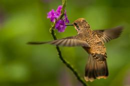 Хочу нектар / Перу .Колибри
