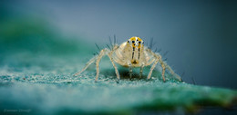 Микроскопический паучок скакун... / Размером... точно 1мм. Уже охотник. С боевой раскраской..