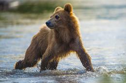 МОЛОДОЙ и ОСТОРОЖНЫЙ / работа с медвежатами в дикой природе