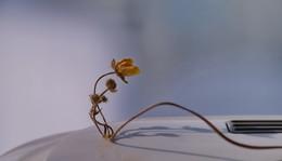 / сухой цветок