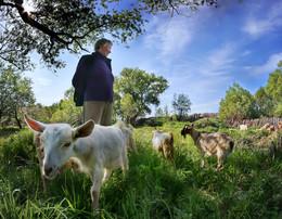Пастушка / Пастушка со своим стадом