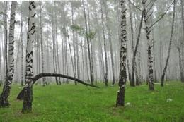 Уголок туманного леса. / Летнее утро в туманном лесу.