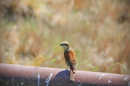 ЖУЛАН (Lanius collurio) Грычун малы (раней - Жулан) САМКА. / Длина тела составляет 16—18 см, размах крыльев — 28—31 см, длина крыла — 93 мм, масса тела — 28 г. Самец окрашен ярче и контрастнее самки. Верхняя часть тела у самцов красноватая. Голова серая, через глаза проходит типичная для данного семейства чёрная полоска — «маска». Нижняя часть тела слегка розоватая, хвост черно-белый с таким же рисунком, как у каменки. У самок и молодых птиц верхняя часть тела коричневая с извилистым рисунком. Нижняя часть тела тёмно-желтого цвета с таким же рисунком.  Поёт обыкновенный жулан редко, песня тихая, представляет собой неясное щебетание. Чаще можно услышать резкие выкрики жулана, напоминающие жужжание — «чррек», «жжек»