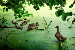 """Зеленая пятница / Дикая утка со своим, уже почти взрослым, выводком, """"прописавшаяся"""" в черте города."""