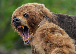 """""""ГНЕВ!"""" / на медвежьей рыбалке"""