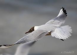 Полёт, пластика крыла / Озёрная чайка