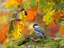 Осенние зарисовки / Буроголовая гаичка. Среди многообразия пернатых есть виды, на первый взгляд ничем не примечательные. И не слишком известные, возможно потому, что не крутятся ежедневно перед глазами, как воробьи или синицы, или не могут похвастаться роскошью оперения, как попугаи или павлины. В общем, не обладают какими-то выдающимися особенностями, чтобы быть популярными у человека. Но трудность их существования и стойкость, с которой они его преодолевают, вызывают заслуженное уважение.