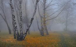 Туманная осень / Березовая роща