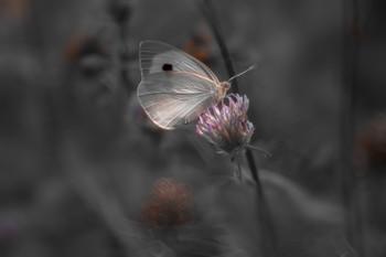 На сером фоне, про бабочку и клевер. / ***