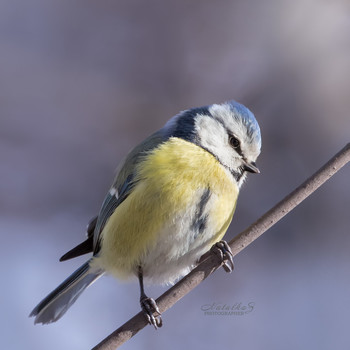 Обыкновенная лазоревка / Птичка явно настроена на весну. Обыкновенная лазоревка — синица мелких размеров, отличающаяся богатым вокальным репертуаром и преобладанием голубого цвета в окрасе оперения.  Длина тела не превышает 12 см, а вес – 14 г. Особенности окраса требует выделить голубую шапочку и темно-синие полоски, выделяющие контуры черного клюва, проходящие через глаза и смыкающиеся на затылке.