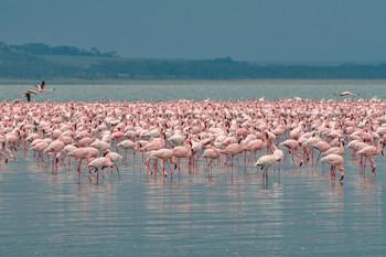 Видимо невидимо / Озеро Накуру. Кения