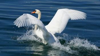 Благородный.. / Несравненны изгибы крыла  Цвета самого чистого снега.  Два мотива-бесстрастность и нега  Им природа по жизни дала..