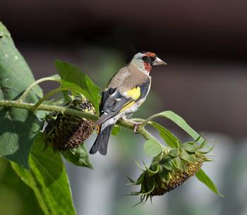 Щегол / Осень, птицы