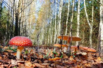 Пейзаж с мухоморами / Осень, лесной пейзаж с мухоморами
