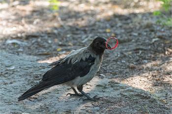 """- Это что, к свадьбе? / Эта ворона произвела на меня впечатление дрессированной или одомашненной птицы. Метров 300 она гуляла со мной по косе. То совсем рядом, то отходя (не отлетая!) в сторону. Нашла это кольцо, принесла мне показать, потом поигралась и выбросила. Кончилось тем, что два велосипедиста взяли её в """"коробочку"""", она резко взмыла вверх и улетела в лесок."""