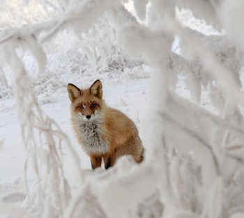 В снежной рамочке. / Лиса , живущая на о. Татышев.