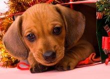 Подарок / это наш щенок, сын моего пса Дени
