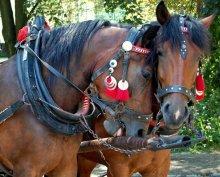 двое / эти коники возят туристов в курортном городе Крыница в Польше. В свободное от туристов время развозят  продукты по маленьким лавочкам. Они труженики.Наверно,им все это надоело.