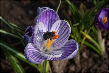 Завтра 1 марта! / Високосный предвестник весны расцвёл на клумбе у нашего крыльца в полдень 29 февраля. Даже ежемуха удивляется!